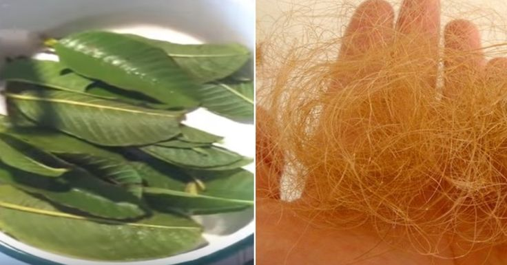 Guava Leaves: The Hair-loss Miracle