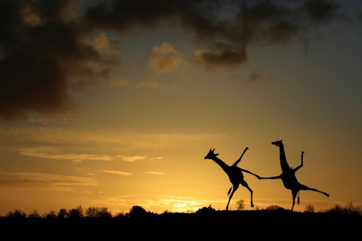 Happy Dancing Giraffes by matt west, via 500px