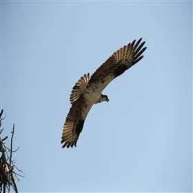 Osprey leaving her nest.