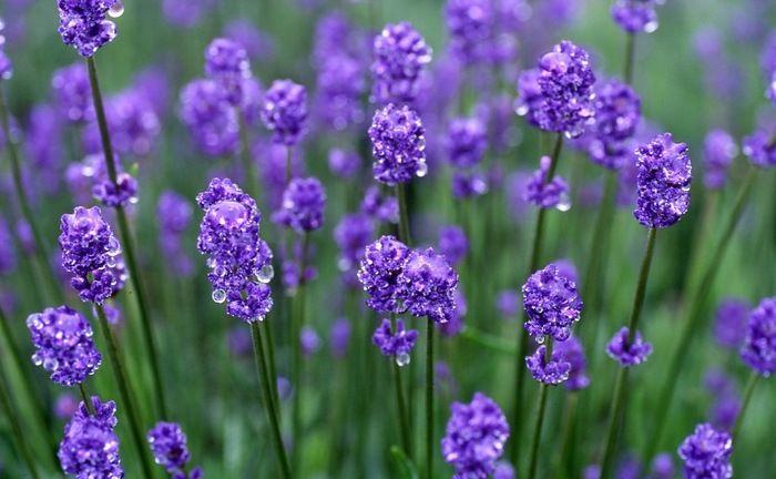 Lavender, Gunma