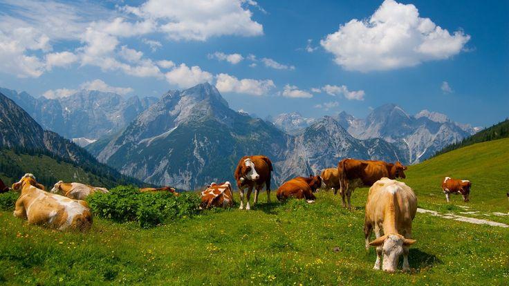 Wallpaper Desktop Background Cow  (14)