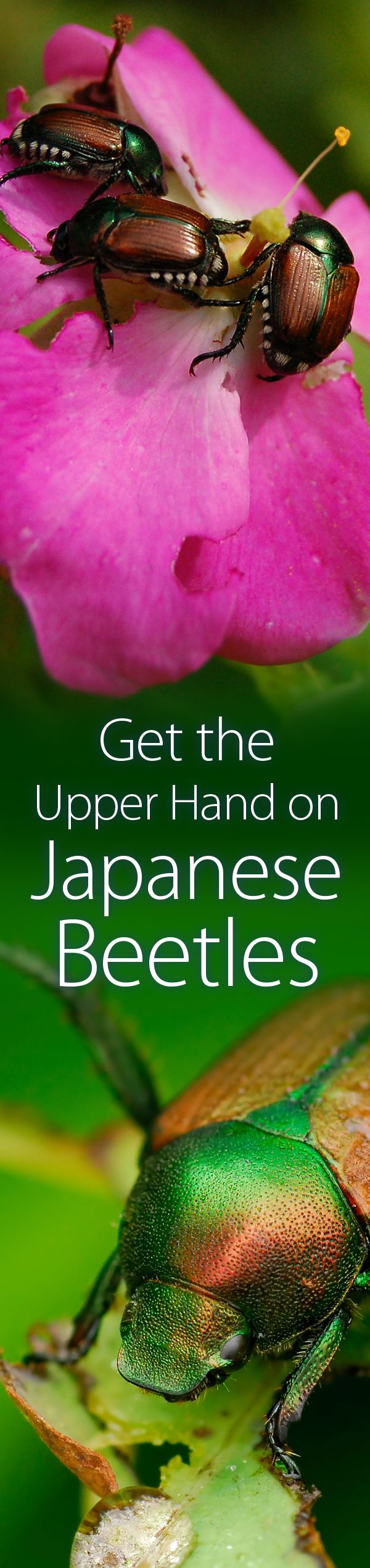 Few garden pests match the destructive power of Japanese beetles. This is a great article on how to keep Japanese Beetles from ruining your garden. #JapaneseBeetles