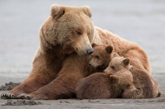 """hank perry photographs a mother grizzly bear and her triplets in alaska's katmai national park. describing the shoot, he noted, """"the tide was out, the sand was blowing, and the wind had some rain in it — not perfect for photography.""""  (see also: mama grizzly ferries her cubs across the river)"""