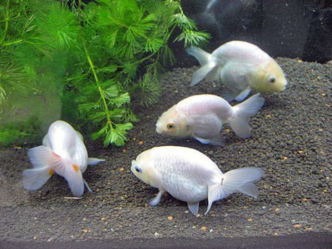 White Ranchu Goldfish Omg Beauties Fish Tanks Ponds