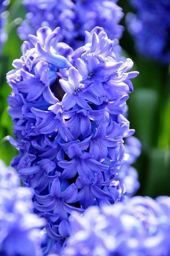 Delft Blue Hyacinth photo courtesy of i-bulb