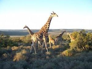 Giraffe at Shamwari Game Reserve
