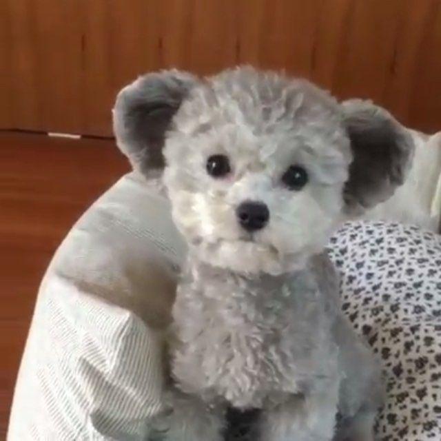 Little Dogs That Look Like Stuffed Animals