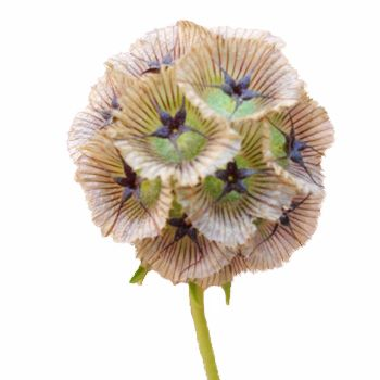 A unique bulk green, Scabiosa Pods serves as wonderful decorative filler. Its ball shaped head creates a unique focal point. Use Scabiosa Pods alone or combine them with any of our bulk flowers to create mystical wedding bouquets, table centerpieces or flower arrangements. Our greens are shipped...