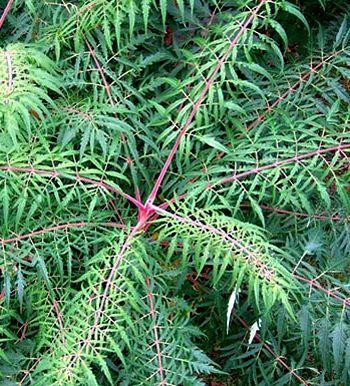 Sumac à bois glabre, Vinaigrier 'Laciniata' Rhus glabra