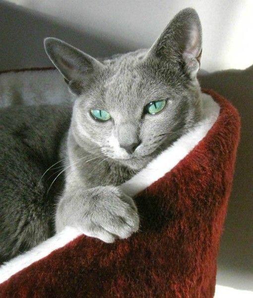 Love My Russian Blue Cat 72