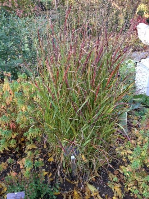 191 best images about horticulture grasses for zones 2 3 for Ornamental grasses that stay green all year