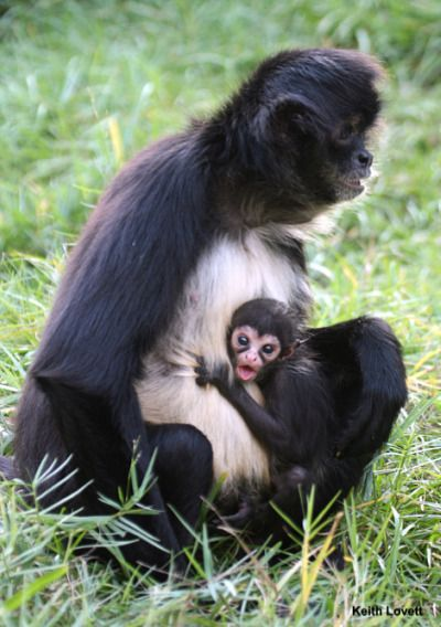 Just three weeks old, the Palm Beach Zoo's new baby Mexican Spider Monkey clings tightly to mom, Raven.