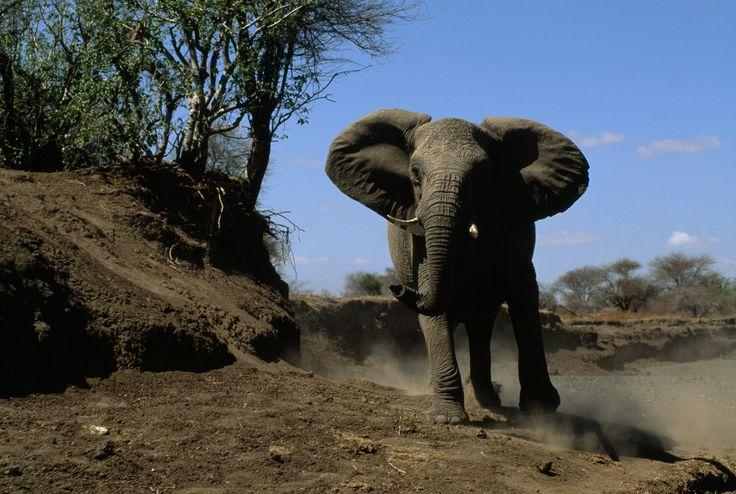 Elephants | An Elephant Never Forgets | Nat Geo Education Blog