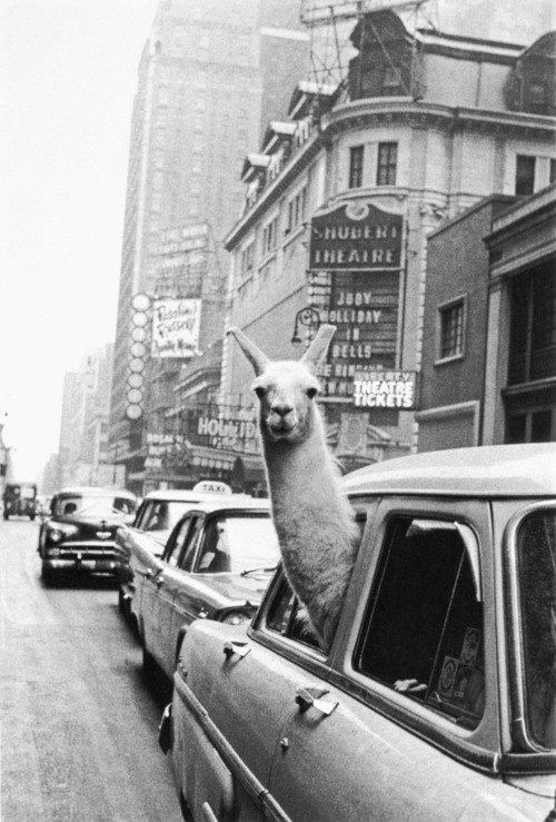 A llama in Time Square, New York City, 1957. Inge Morath