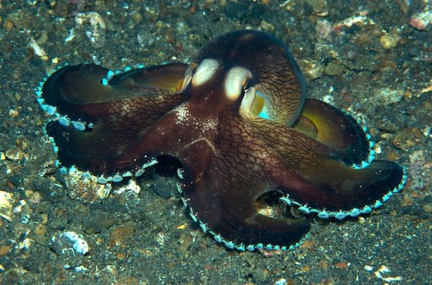 Octopus Species - Octopus Facts and Information