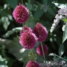 Allium sphaerocephalon - sierui