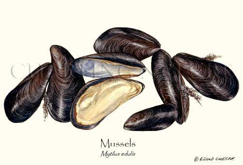 Sustainability-Mussels Shellfish Illustration by Artist Brenda Guild Gillespie, Giclee Art Print $19.95
