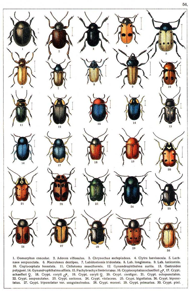84 best gg yakobson 1905 1915 beetles of russia images on yakobson beetles of russia table 56 biocorpaavc Images