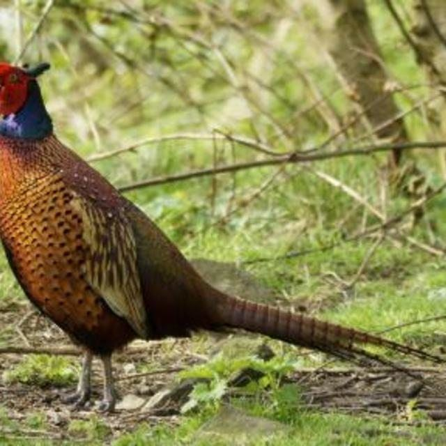 How to Build Pheasant Pens | Pheasant, Raising pheasants ...