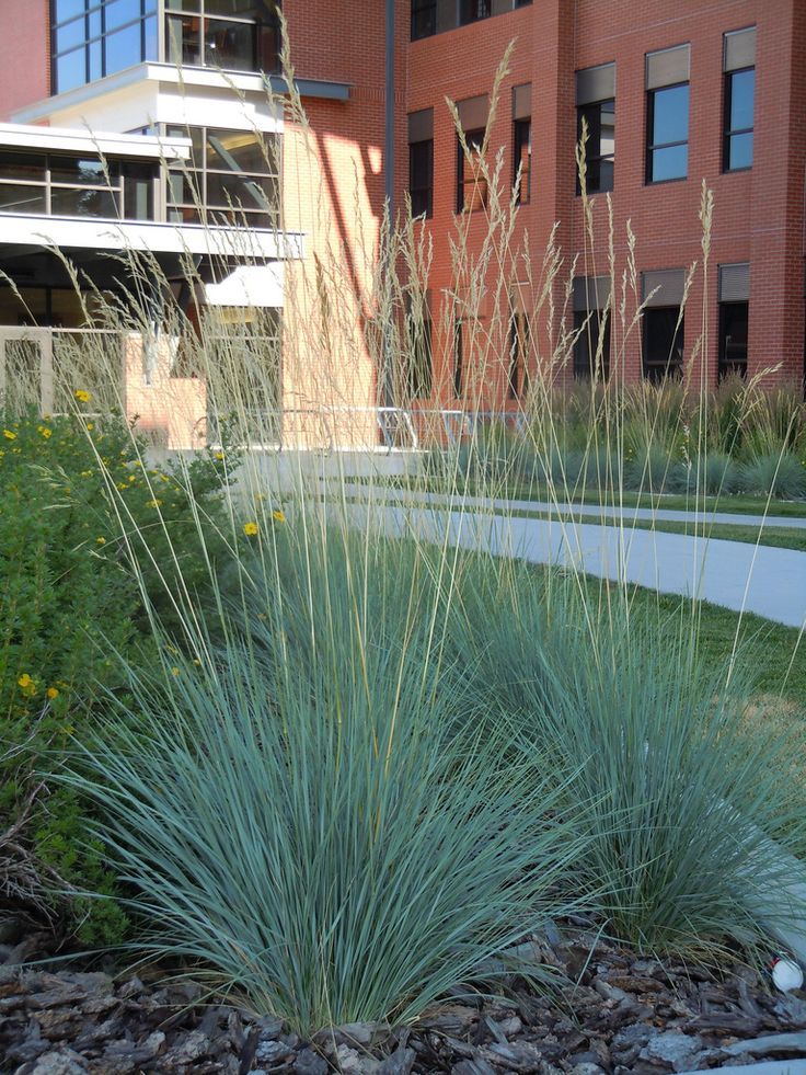 Helictotrichon Sempervirens, Blue Oat Grass: Great Drought Tolerant Choice