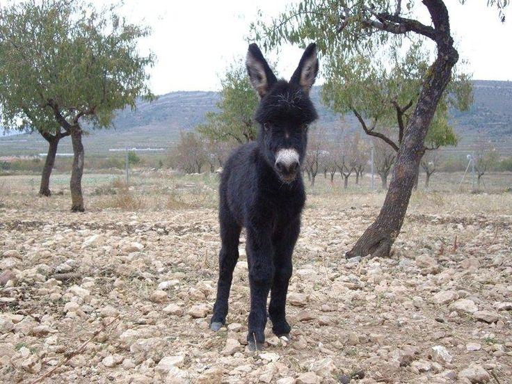 Cortesía: Burrosminiatura.com, Aras de los Olmos, Valencia (España).