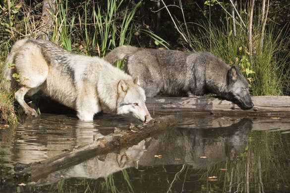 Giant 400-acre preserve in North Florida for displaced wolves