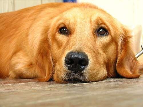 Las diez razas de perros mas inteligentes del mundo 4