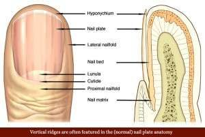 vertical-ridges-fingernails-nail-plate-anatomy