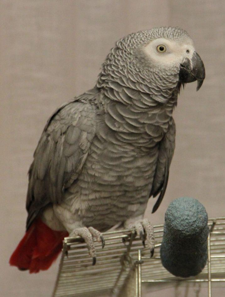 """Наш  гордость и любимец,попугай жако  Сеня, птица """"говорун""""."""