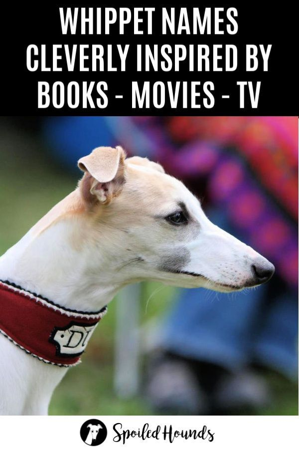 Brilliant Book Movie And Tv Inspired Whippet Names With Pictures In 2020 With Images Whippet Dog Names