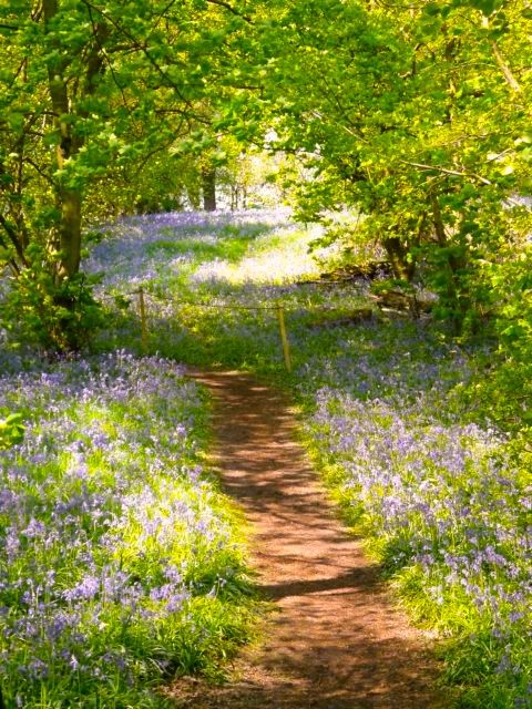 Woodland Path through Yoxall Lodge Bluebell Woods, Staffordshire, England ... Photo by Graham Taylor ....