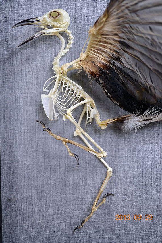 Real Bird Taxidermy Skeleton Open Wing Mounted On by lovefuture