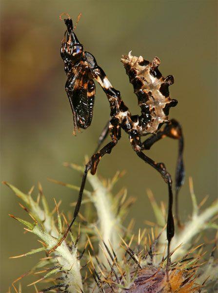 Giant Devil's Flower Mantis...the variation of them is STUNNING!