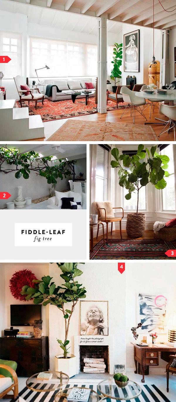 lots o' fiddle leaf fig trees