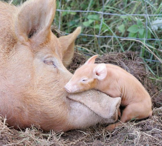 """Pigs are wonderful Mums.  """"Anyone who has spent time with a pig will tell you they are much like a dog. They are very playful and social. They even wag their tail when they're excited! When not trapped in factory farms mothers build nests for their young and have even been known to sing to their babies."""""""