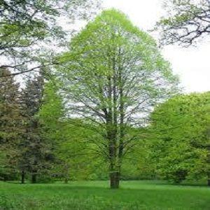 фото дерево липа 1