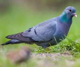 Stock Dove (Columba oenas). They are widely spread across the UK, but are absent from parts of Scotland and Ireland. They require plenty of cover, so although they may be seen in open countryside and farmland, as well as gardens, they will normally look for tall trees for nesting and protection.