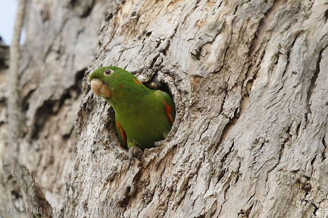mis fotos de avesPsittacara leucophthalmus Calancate Ala Roja