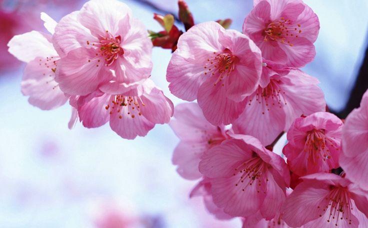 Gambar Bunga Sakura Jepang