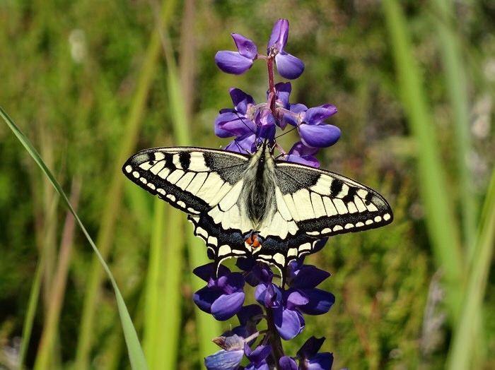 Ritariperhonen // Swallowtail butterfly