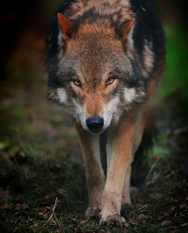 Волк одиночка картинки