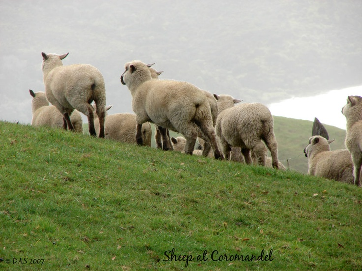 Sheep at Coromandel