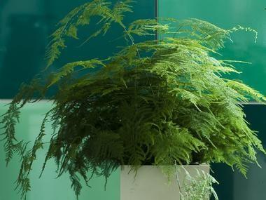 Asparagus pierzasty do 70cm