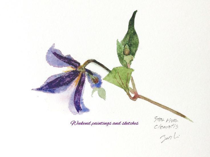 Clematis Watercolours