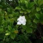 Gardenia bush care