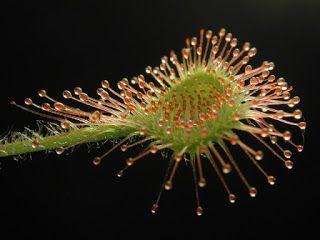 Плотоядные растения: Клубневые росянки