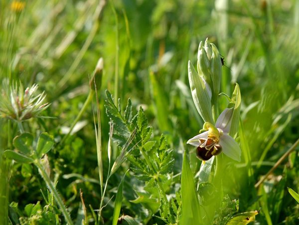 Ophrys apifera. Madonie mountains, Sicily http://homemadesicily.com/en/activities/wild-orchids-itinerary/