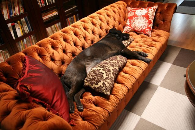 The fancy couch isn't complete without a big sleepy black dog :)  This is my life... Everything is decorated with dog hair