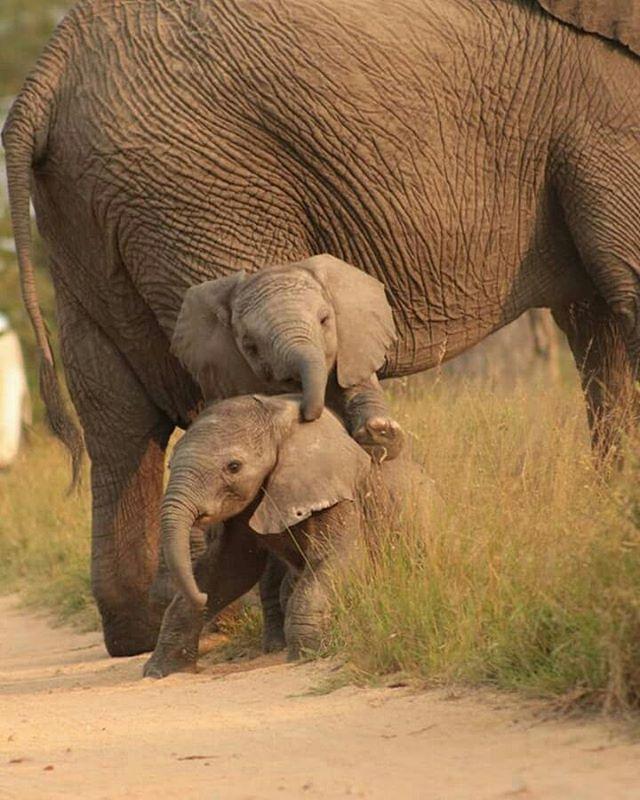 Diese wunderschönen Zwillingselefanten werden das Glück haben, erwachsen zu werden, ganz zu schweigen von der Reife …   – Tiere