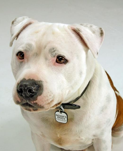 Staffordshire Bull Terriers are fabulous dogs and one of my favourite breeds- unfortunately they often end up in the wrong type of owners. Please read and share what type of owner this type of dog needs.